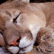 Mountain Lion or Cougar, (Felis concolor) Portrait of adult sleeping in den. Rocky mountains. Montana.  Captive Animal.