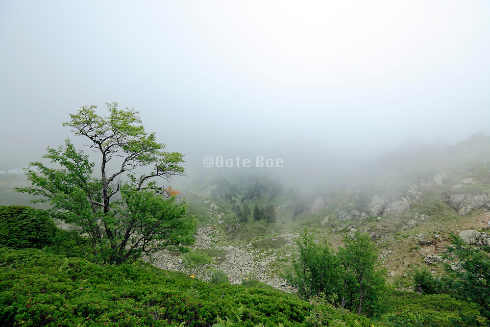 tree and bush on a mountainside with fog