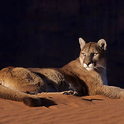 Mountain Lion or Cougar, (Felis concolor) In sand dunes in Slot Canyons of northern Arizona. Captive Animal.