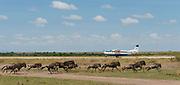 Wildebeests running along the local air strip in Maasai Mara, Kenya.