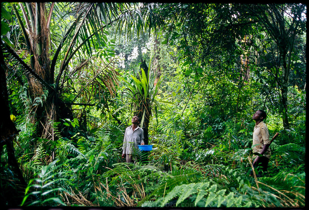 In the lush forests of the Ssese Islands, a small archipelago in Lake Victoria, a village farmer searches for dead palm trees, a source of masinya, or palm grubs (the larvae of the Capricorn beetle). Lake Victoria, Uganda. (Man Eating Bugs page 142,143)