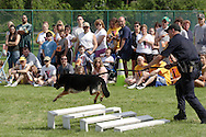 Middletown, NY - A police dog jumps over obstacles during a demonstration at the YMCA on June 1, 2008.
