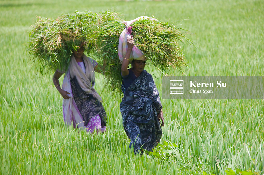 Indian woman carrying grass on the head in the rice paddy, Thekkady, Kerala State, India