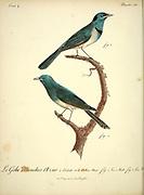 Male and Female Gobe-mouches Azur from the Book Histoire naturelle des oiseaux d'Afrique [Natural History of birds of Africa] Volume 4, by Le Vaillant, Francois, 1753-1824; Publish in Paris by Chez J.J. Fuchs, libraire 1805