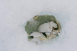 Broken Gentoo Penguin Egg, Neko Harbor, Antarctica