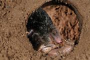 [captive] European Mole (Talpa europaea) has caught a worm in its subterranean burrow. | In seinem unterirdischen Gang hat ein Maulwurf (Talpa europaea) einen Regenwurm erbeutet. Kiel, Deutschland