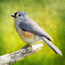 tree, branch, bird, titmouse, tufted titmouse