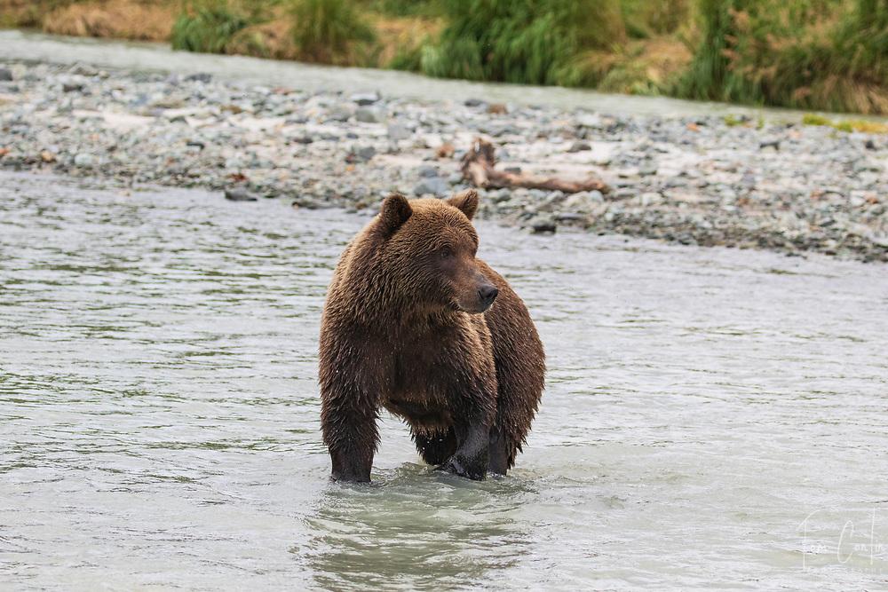 brown bear ~ Ursus arctos ~ adult ~ Katmai National Park, Alaska ~ www.adventurequestX.com