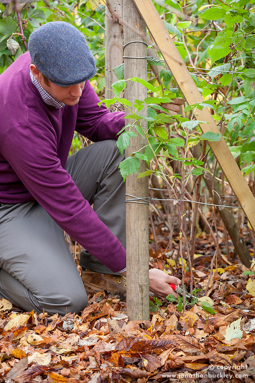 Pruning raspberries in autumn. Cutting fruited canes right down to the ground.