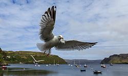 THEMENBILD - Möwen am Hafen von Portree, Schottland, aufgenommen am 10. Juni 2015 // Gulls fly above the Harbor of Portree, Scotland on 2015/06/10. EXPA Pictures © 2015, PhotoCredit: EXPA/ JFK