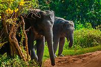 Elephants, Yala National Park, Southern Province, Sri Lanka.