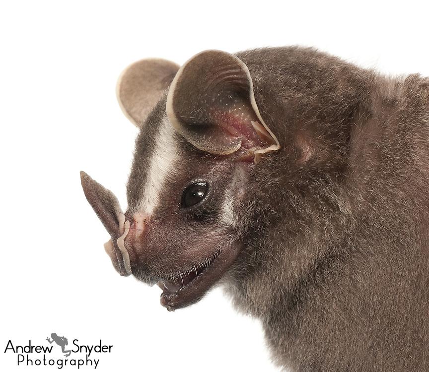 Tent-making bat (Uroderma bilobatum) - Guyana