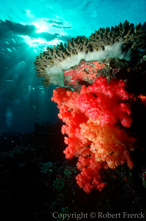 UNDERWATER MARINE LIFE WEST PACIFIC; Fiji Reef environment with hard and soft corals and sun rays from the surface