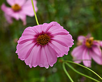 Cosmos. Image taken with a Leica SL2 camera and Sigma 105 mm f/2.8 macro lens.