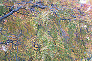 Autumn colours, beech leaves<br /> *ADD TO CART FOR LICENSING OPTIONS*