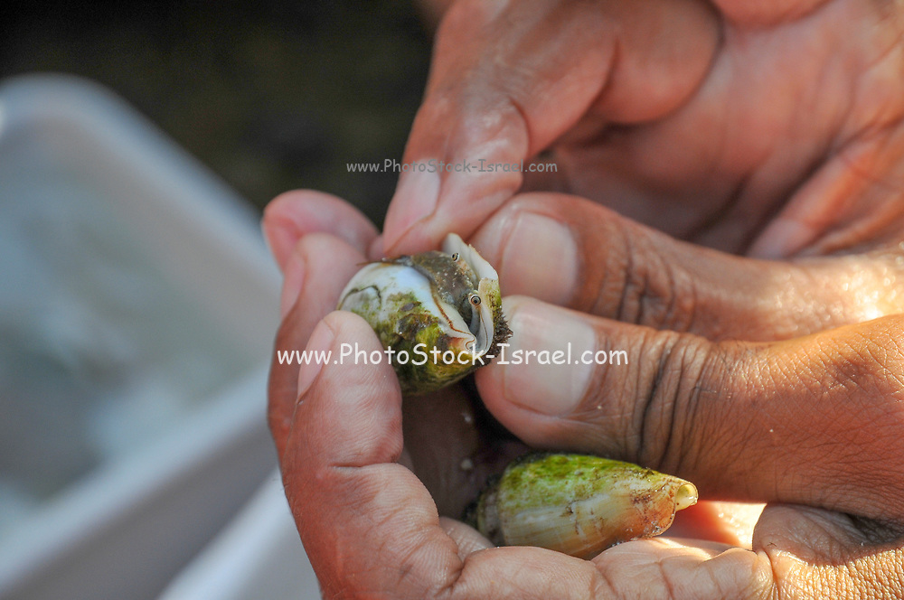 A group of curious children are investigating the living organisms in the shallow tide pools on the beach of Achziv, Galilee, Israel. A hermit crab in shell