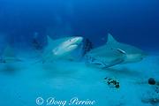 bull sharks, Carcharhinus leucas, females in seasonal breeding aggregation with remoras or sharksuckers, Echeneis naucrates, Playa del Carmen, Cancun, Quintana Roo, Yucatan Peninsula, Mexico ( Caribbean Sea )