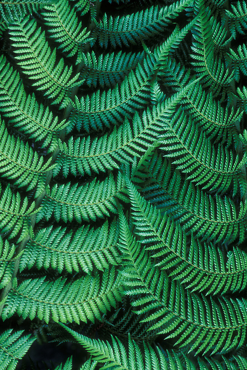 Australia, New South Wales, Details of tree fern leaves in Angahook Lorne State Park in southern Victoria