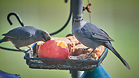Pair of Gray Catbirds at the bird feeder. Image taken with a Nikon D5 camera and 600 mm f/4 VR lens (ISO 800, 600 mm, f/5.6, 1/1250 sec)
