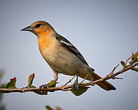 Female Bullock's Oriole (Icterus bullockii). Campos Viejos, Texas. Image taken with a Nikon D4 camera and 600 mm f/4 VR lens