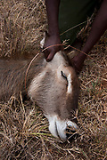 KWS veterinary -  supported by The David Sheldrick Wildlife Trust -  Jeremiah Poghon, his team and KWS Honorary Warden Davide Gremmo treating a wounded waterbuck.