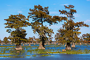 Bald Cypress trees Taxodium distichum tree stumps cut down for timber, trees with Spanish Moss, Atchafalaya Swamp, Louisiana USA