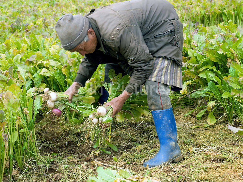 A farmer harvests turnips in Dhazheyjhab village, Phobjikha valley, Bhutan. Turnips are stored over the winter and used by farmers as winter feed for their cattle.