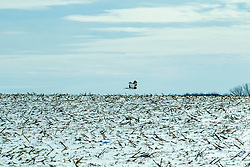 A Northern Harrier (Circus Hudsonius) glides over a snow covered cornfield.