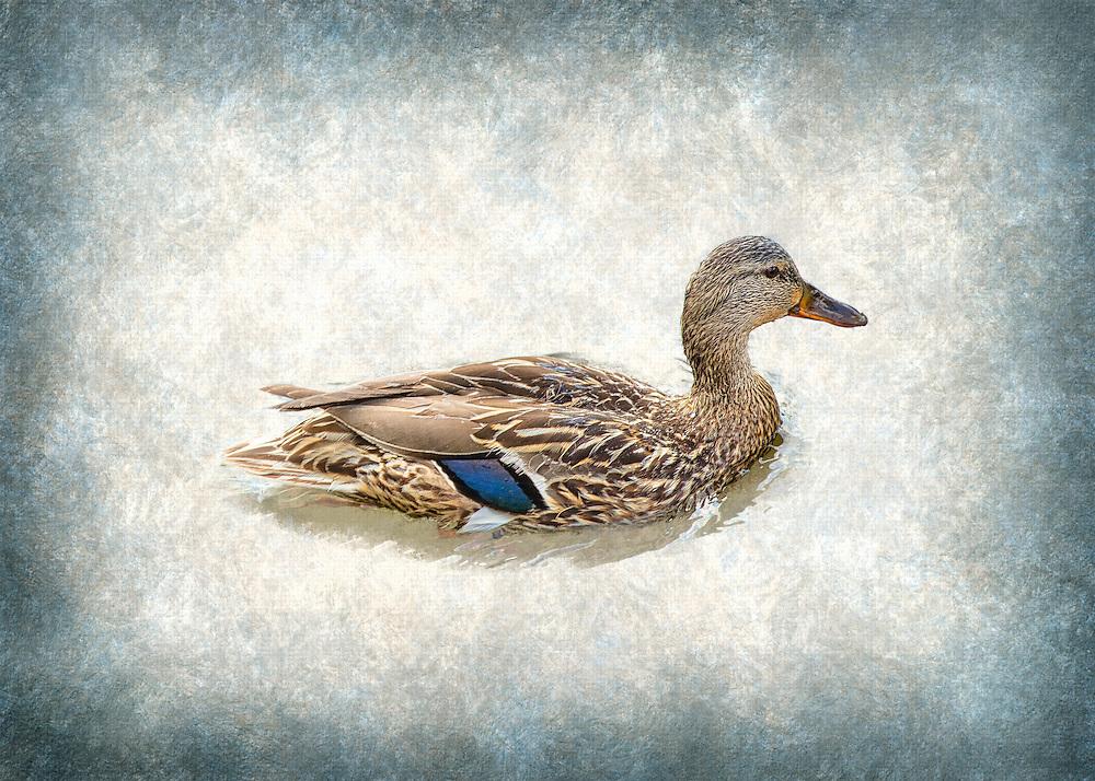 A Female Mallard Duck on Textured Blue Waters
