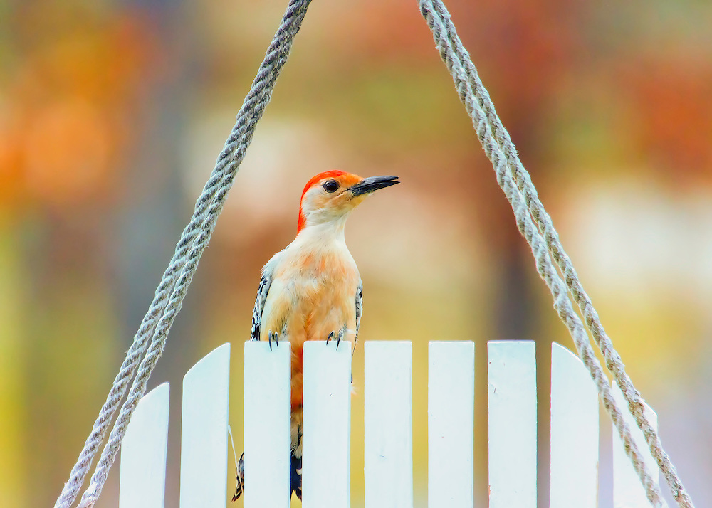 The Red-bellied Woodpecker is a medium-sized woodpecker of the Picidae family. It breeds in southern Canada and the northeastern United States, ranging as far south as Florida and as far west as Texas.