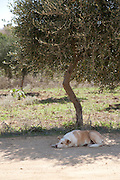 A dog has a midday siesta in the shade of an olive tree in Sicily, Italy