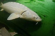 Shortnose Sturgeon, Underwater