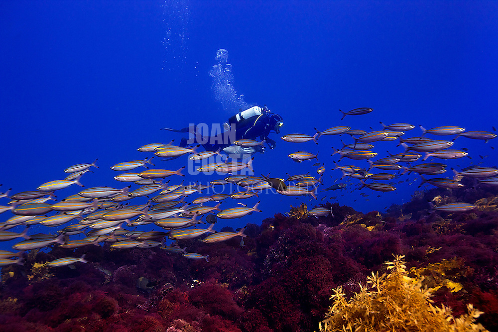 05/April/2013 Western Australia<br /> UWA researchers working at Abrolhos Islands at a kelp site<br /> <br /> ©JOAN COSTA