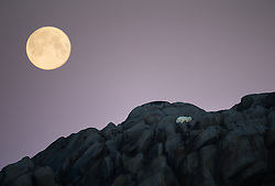 Full moon above stranded Polar bear (Ursus maritimus)  on an island north of Svalbard