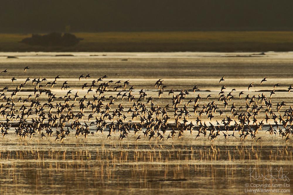 Thousands of shorebirds, mainly dunlin (Calidris alpina), fly over the Bowerman Basin in Washington's Grays Harbor at sunrise.