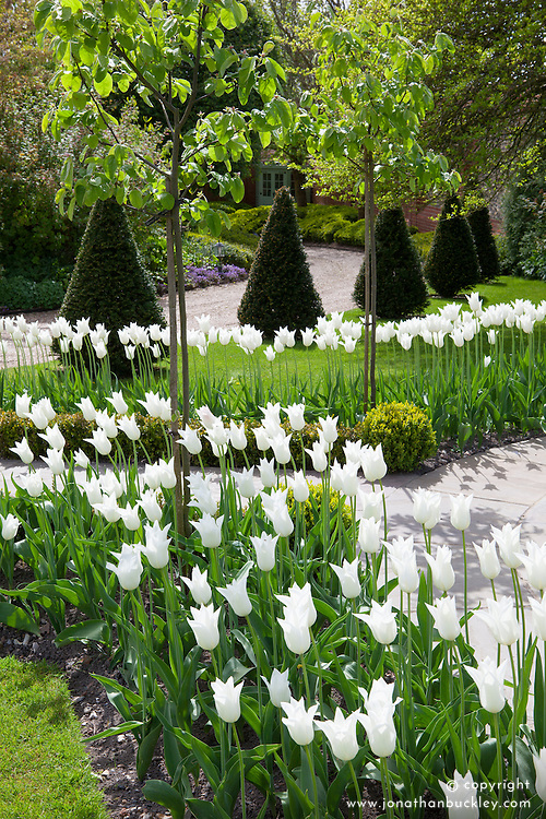 Tulips in the Greenhouse Borders at Manor Farm House in spring. Tulipa 'White Triumphator'. Drive with yew topiary cones
