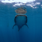 A whale shark (Rhincodon typus) feeds near the surface in Mexico.
