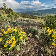 Arrowleaf balsamroot (Balsamorhize sagittata) amidst the landscape of Yellowstone National Park.