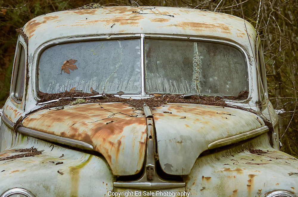An abandoned antique Dodge car covered with leaves, and with leaf designs on the windows, sits rusting in the wet climate of Oregon.