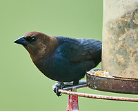 Brown-headed Cowbird (Molothrus ater). Image taken with a Nikon D850 camera and 500 mm f/4 VR lens.