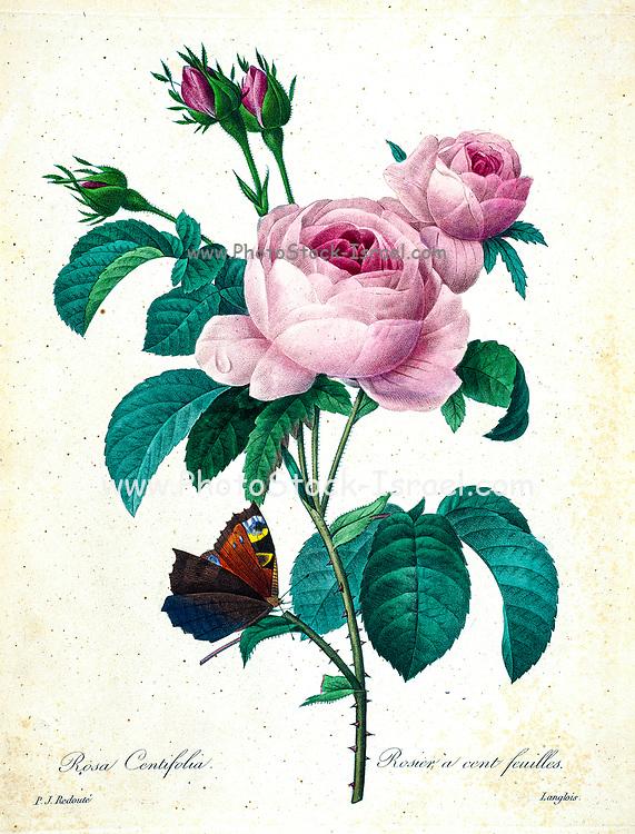 19th-century hand painted Engraving illustration of a pink Provence rose, Cabbage rose, rose of one hundred petals. Rosa centifolia. by Pierre-Joseph Redoute. Published in Choix Des Plus Belles Fleurs, Paris (1827). by Redouté, Pierre Joseph, 1759-1840.; Chapuis, Jean Baptiste.; Ernest Panckoucke.; Langois, Dr.; Bessin, R.; Victor, fl. ca. 1820-1850.