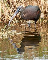 Glossy Ibis (Plegadis falcinellus). Black Point Wildlife Drive. Merritt Island National Wildlife Refuge. Image taken with a Nikon D3x camera and 500 mm f/4 VR lens.