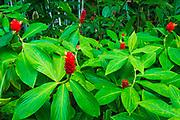 Red ginger at Hawaii Tropical Botanical Garden, Hamakua Coast, The Big Island, Hawaii USA