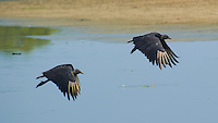 Black Vultures in Flight in Belize. Image taken with a Nikon D3s and 70-300 mm VR lens (ISO 200, 300 mm, f/8, 1/1000 sec).