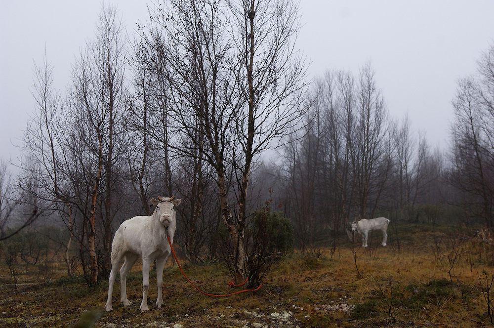 reindeer, Sami, nordic, fog, mist, October, Indigenous groups, lasso, herd, herder, roundup, Finland, scandinavia