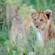 A portrait of a lion cub. Kenya, Africa