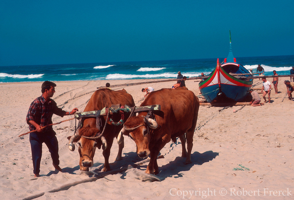 PORTUGAL, CENTRAL REGION teams of oxen pull traditional wooden fishing boats in from the Atlantic Ocean at Mira, south of Aveiro