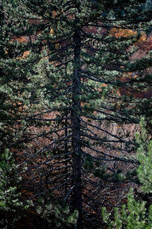 Greece, Pindos Mountains, Pindos NP, Valia Calda, pine tree