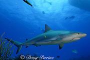 Caribbean reef shark, Carcharinus perezi, with fish hook in mouth, Bahamas ( Western Atlantic Ocean )