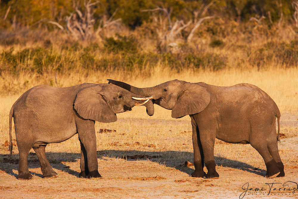 Two young bull African elephants (Loxodonta africana)  playing and fighting at a water hole, Hwange National Park, Zimbabwe,Africa